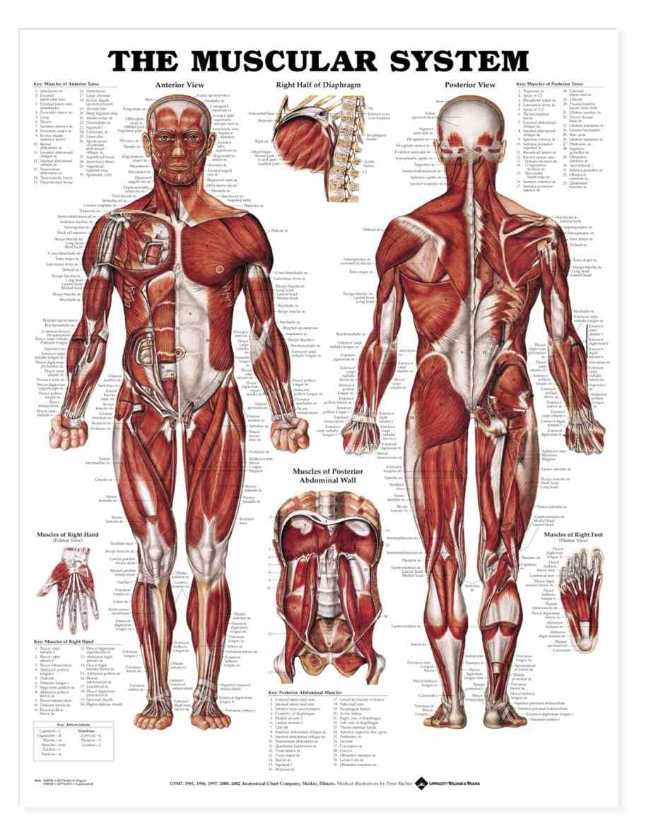 Muscular System Organs And Their Functions Pictures Wallpapers