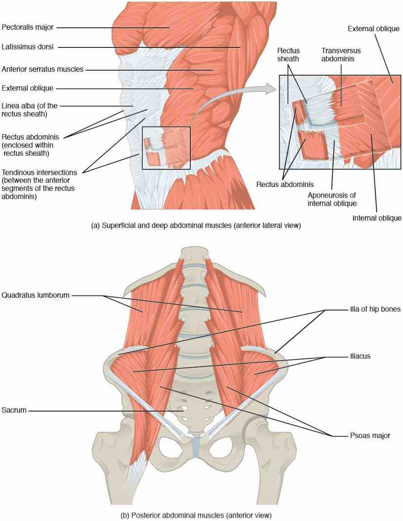 Abdominal Fascial Layers Anatomy Pictures Wallpapers