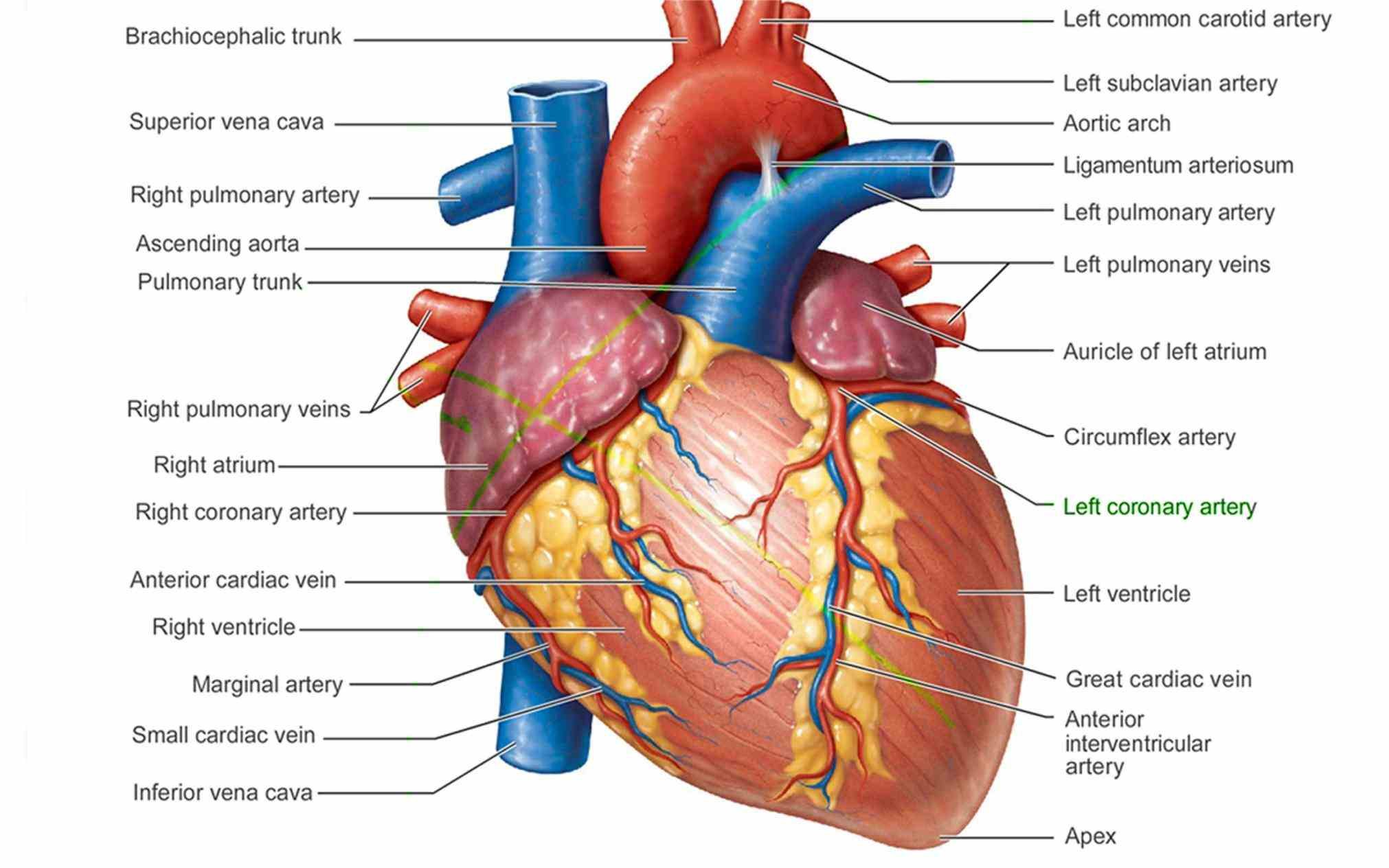 Heart Location In The Human Body Pictures Wallpapers