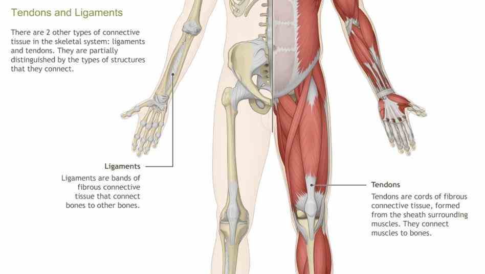 Musculoskeletal System Anatomy Pictures Wallpapers