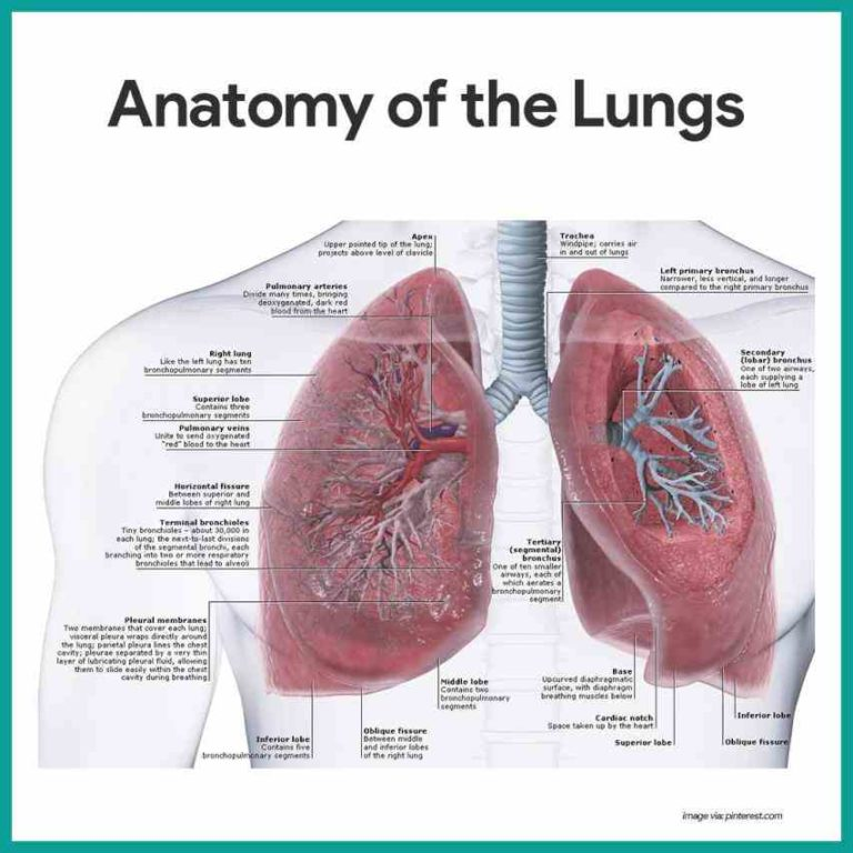 Gross Anatomy of the Airway and Lungs Conducting 7013758 ...
