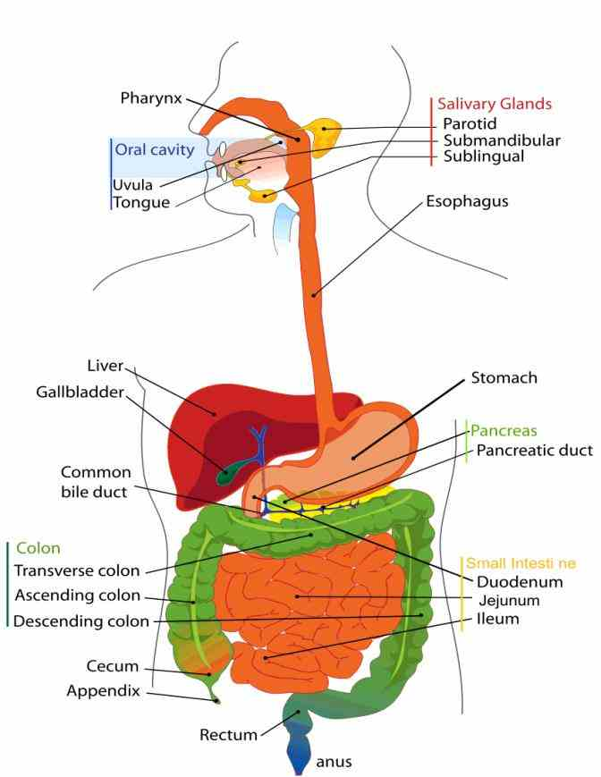 Picture Of Alimentary Canal Pictures Wallpapers
