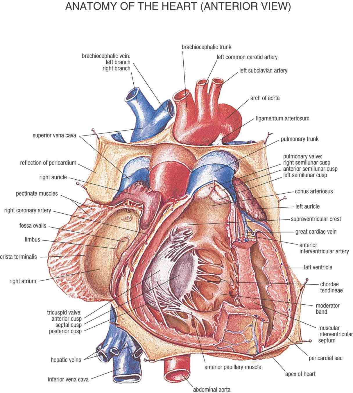 Heart Blood Vessels Diagram Anatomy Pictures Wallpapers