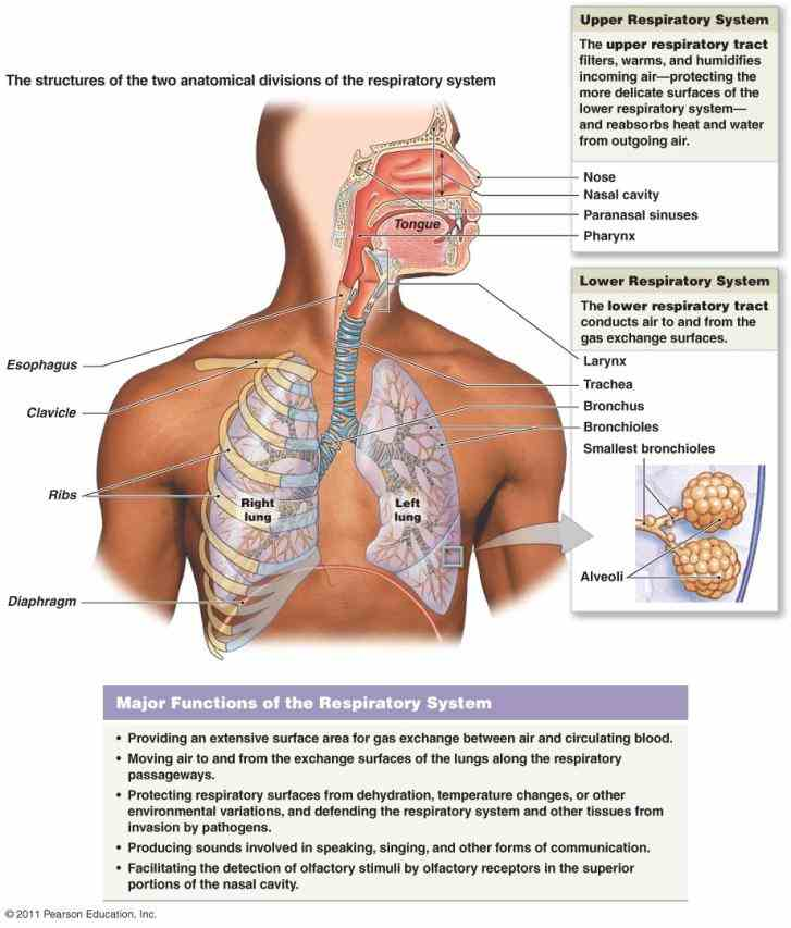 Esophagus Function And Structure Pictures Wallpapers