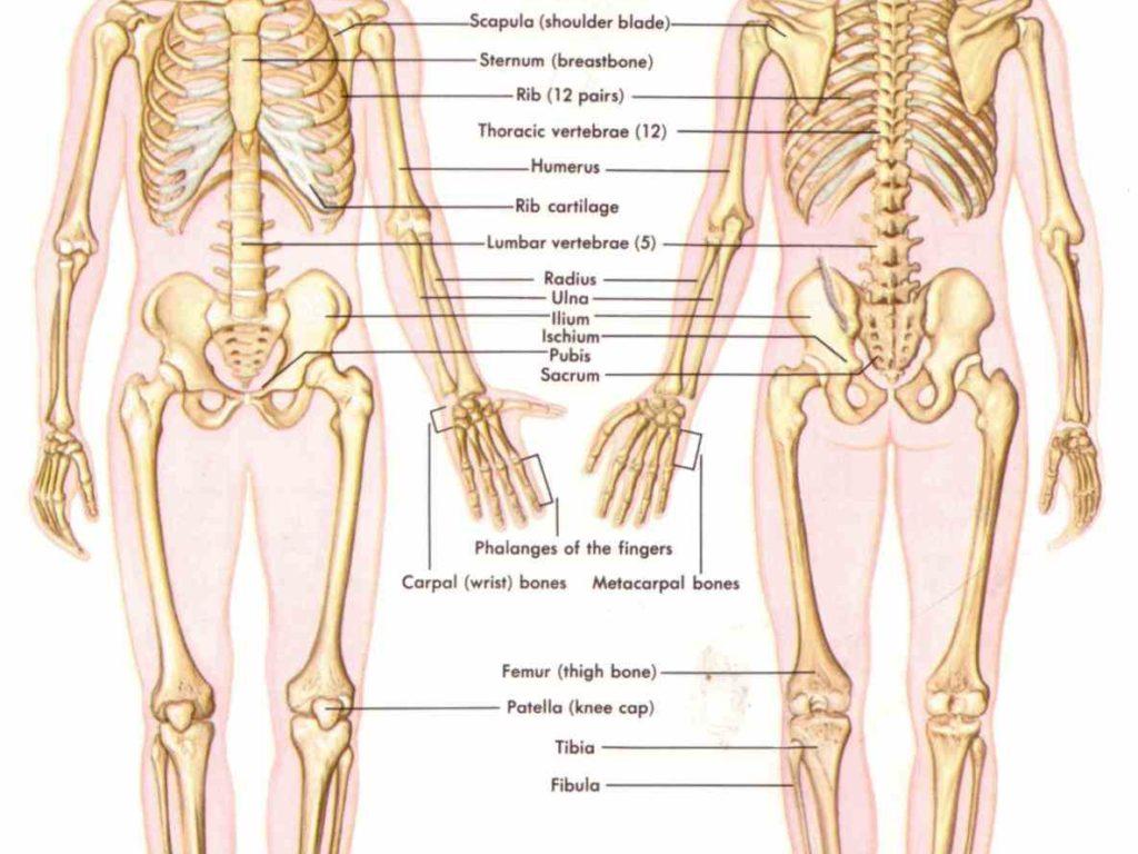 Study bones anatomy