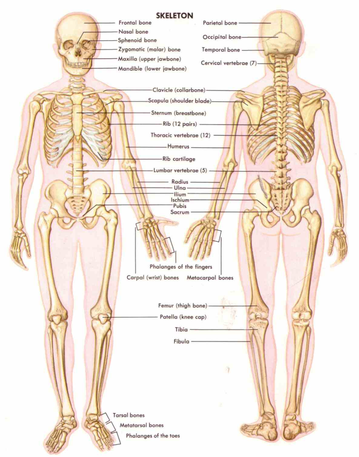 anatomical human model life size cm de Anatomy Of All The Bones In The Body jul although often thought