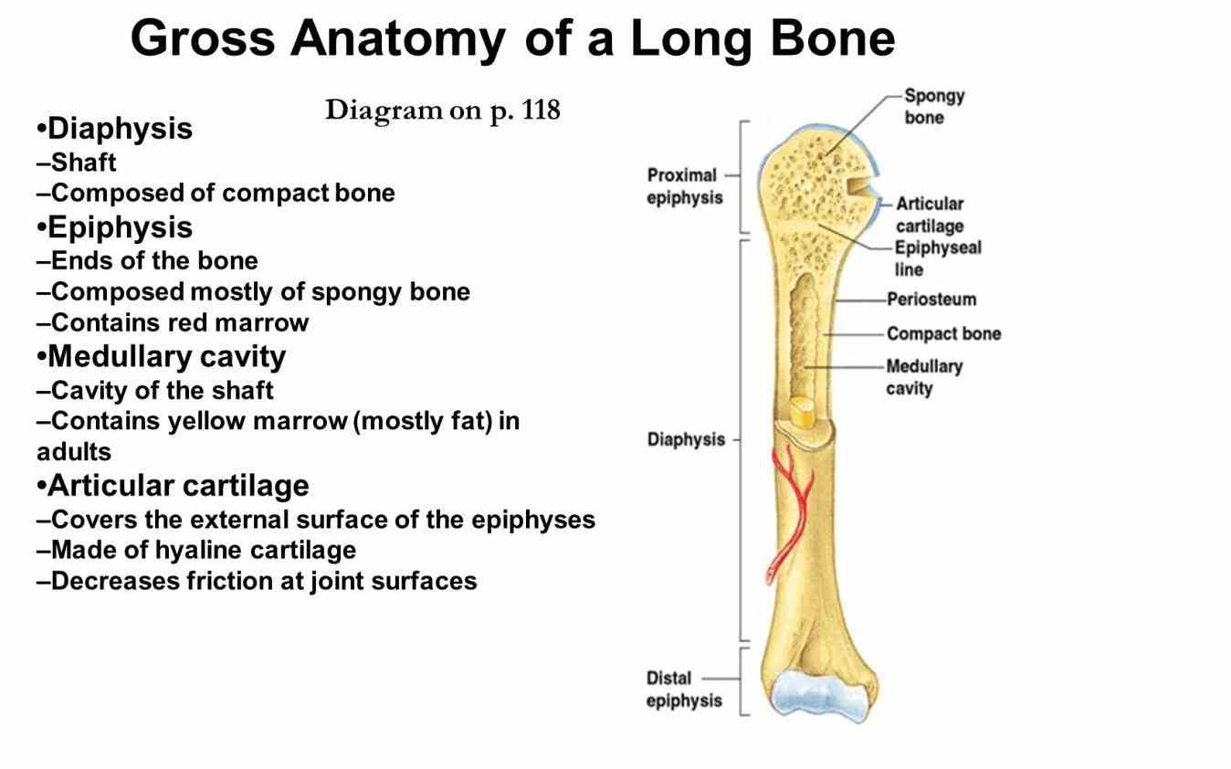 Anatomy Of A Typical Long Bone Pictures Wallpapers