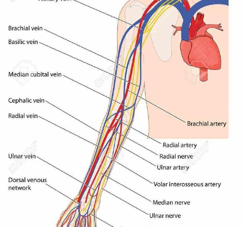 Veins arm anatomy