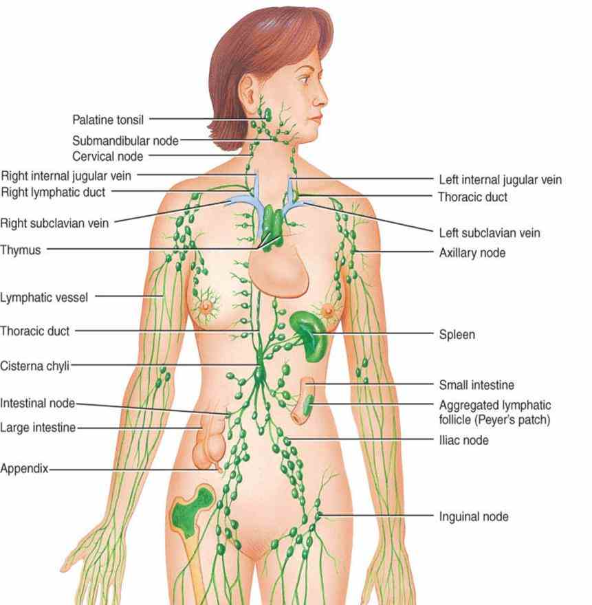 anatomy human chart photo anatomy  this Glands In The Body Diagram Anatomy page contains a list of glands the