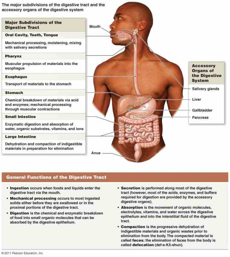 Glands Of The Digestive System Anatomy Pictures Wallpapers