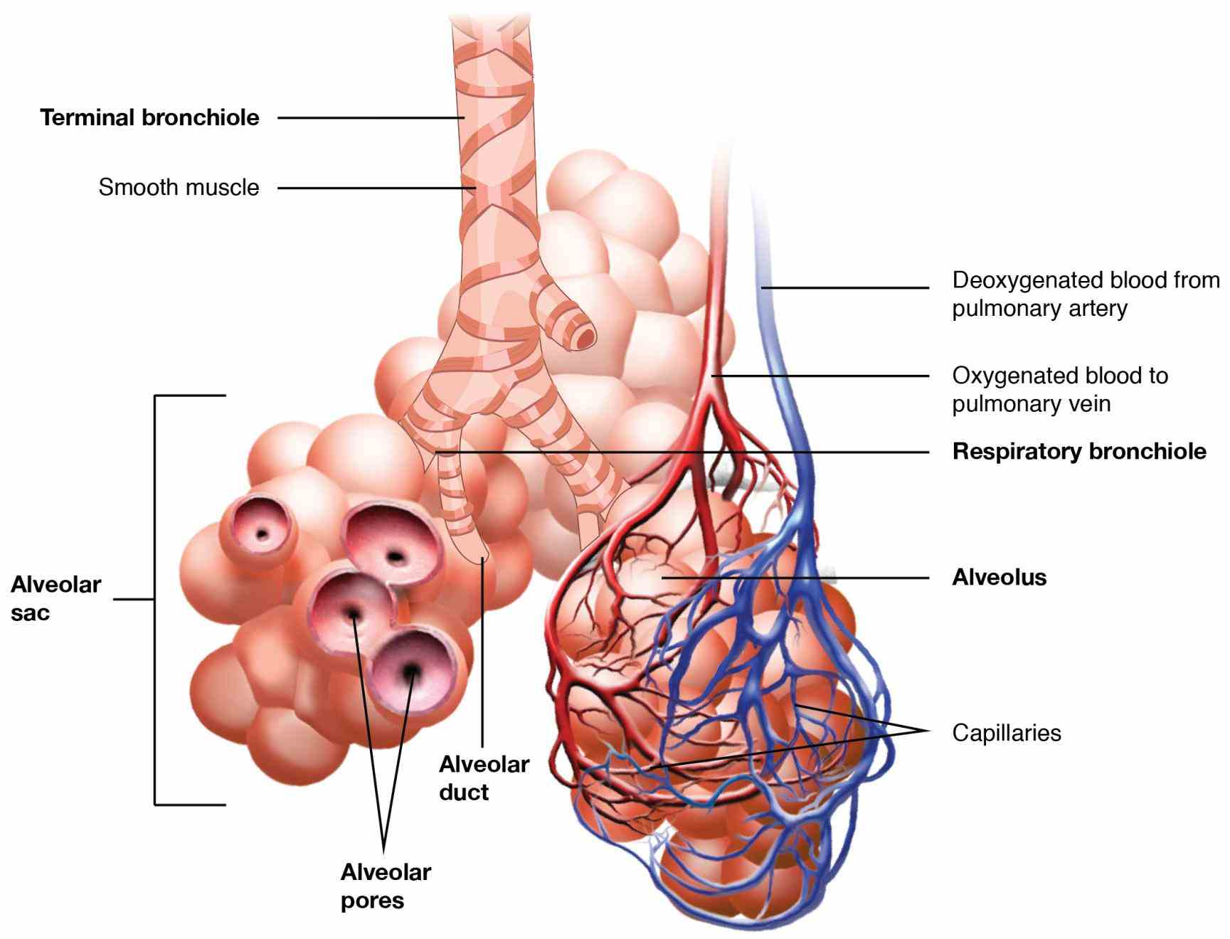 Anatomy Of Human Respiratory System Pictures Wallpapers