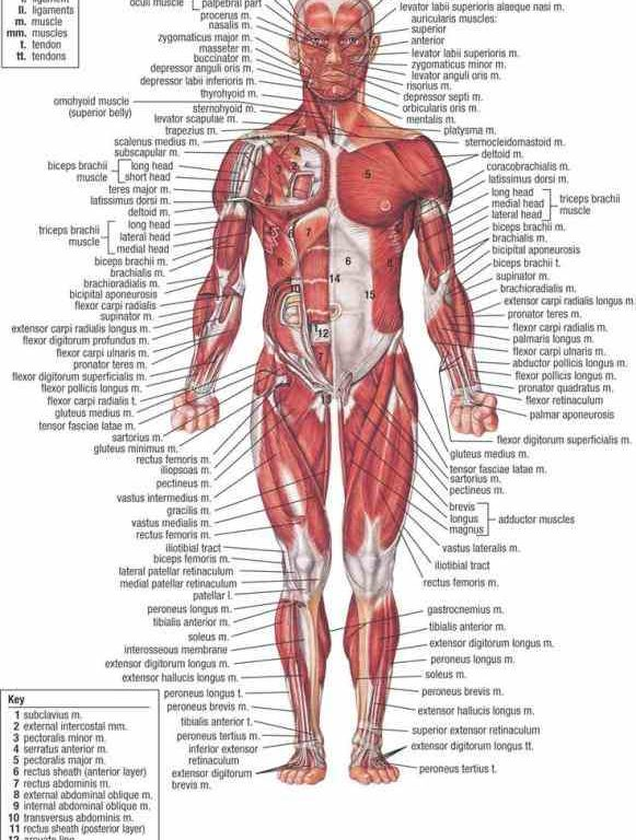 Anatomy of the body pictures
