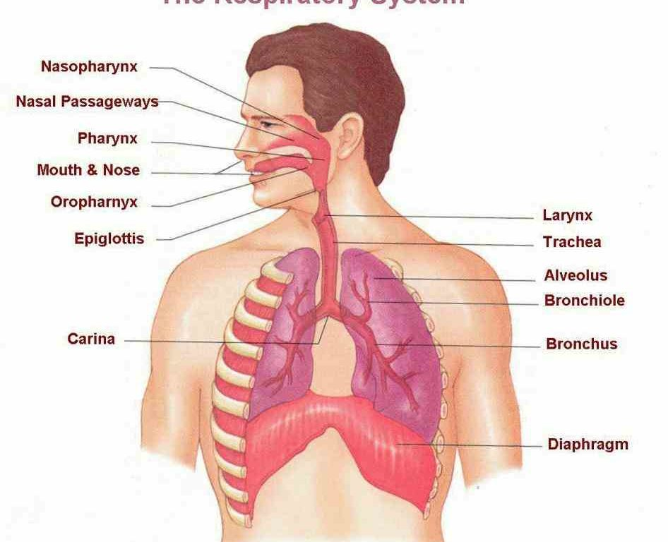 respiratory system and diseases