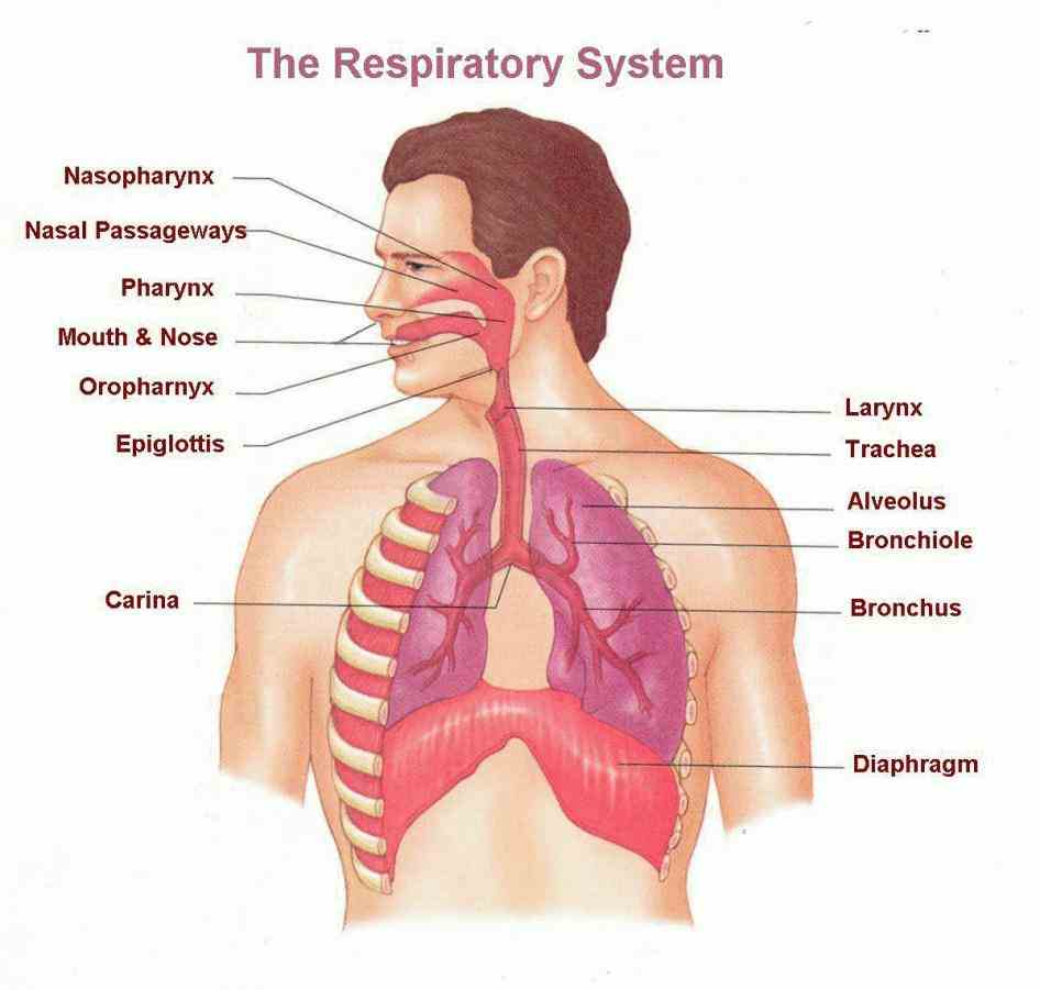 Anatomy Of The Respiratory System Pictures Wallpapers