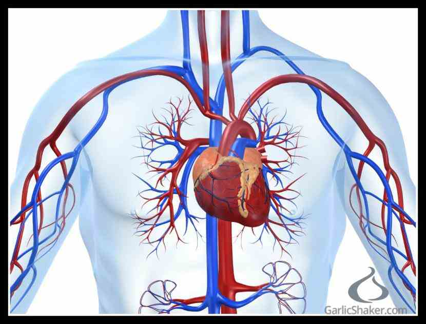 Cardiovascular System Pictures Wallpapers