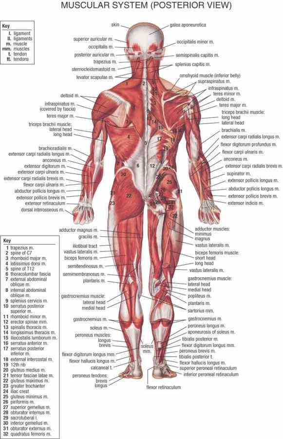 and descriptions thousands objects in innerbodycom  de Anatomy Picture Of Human Body mar webmds abdomen anatomy page provides a