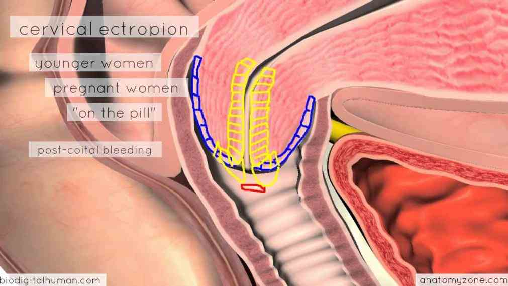 Anatomy Of Uterus And Cervix Pictures Wallpapers