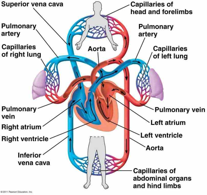 Arteries Of The Heart Diagram Pictures Wallpapers