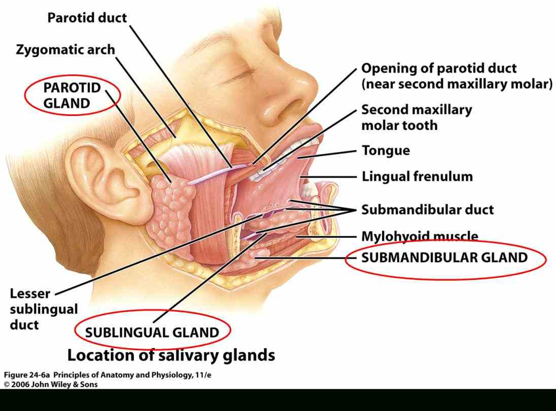 Location Of The Salivary Glands Pictures Wallpapers