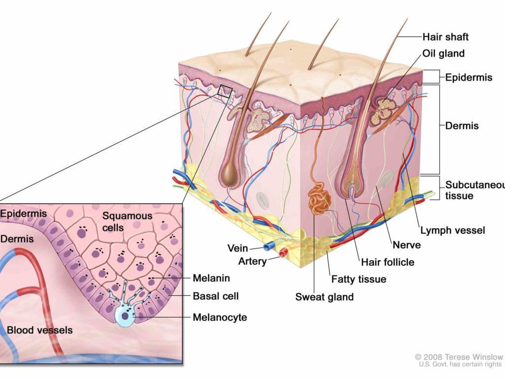Human anatomy cells and tissues