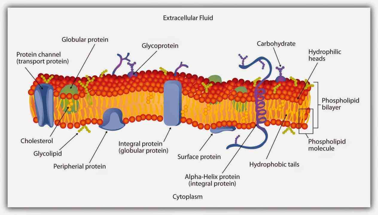 Glycoprotein Function In Cell Membrane Pictures Wallpapers