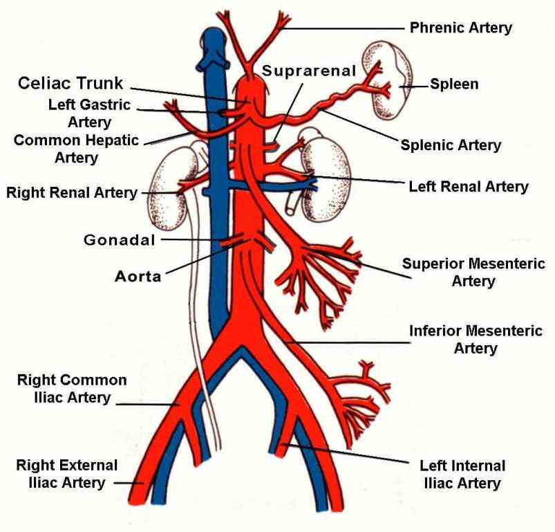 Anatomy Of Superior Mesenteric Artery Pictures Wallpapers