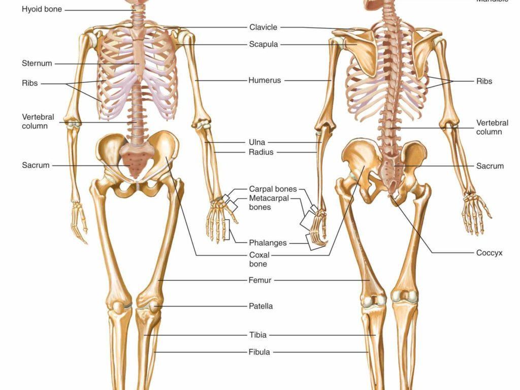 Anatomy appendicular skeleton