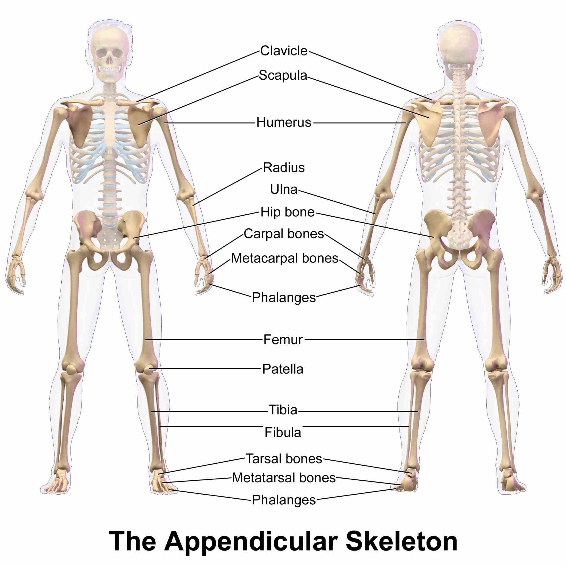 Appendicular Skeleton Structure Anatomy Pictures Wallpapers
