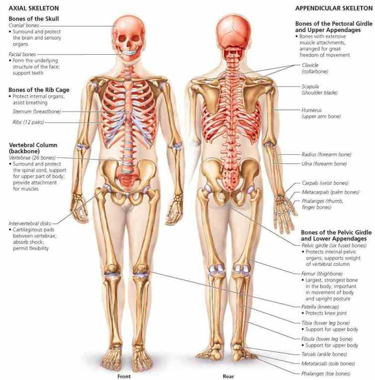 Appendicular Skeleton Anatomy Parts Pictures Wallpapers
