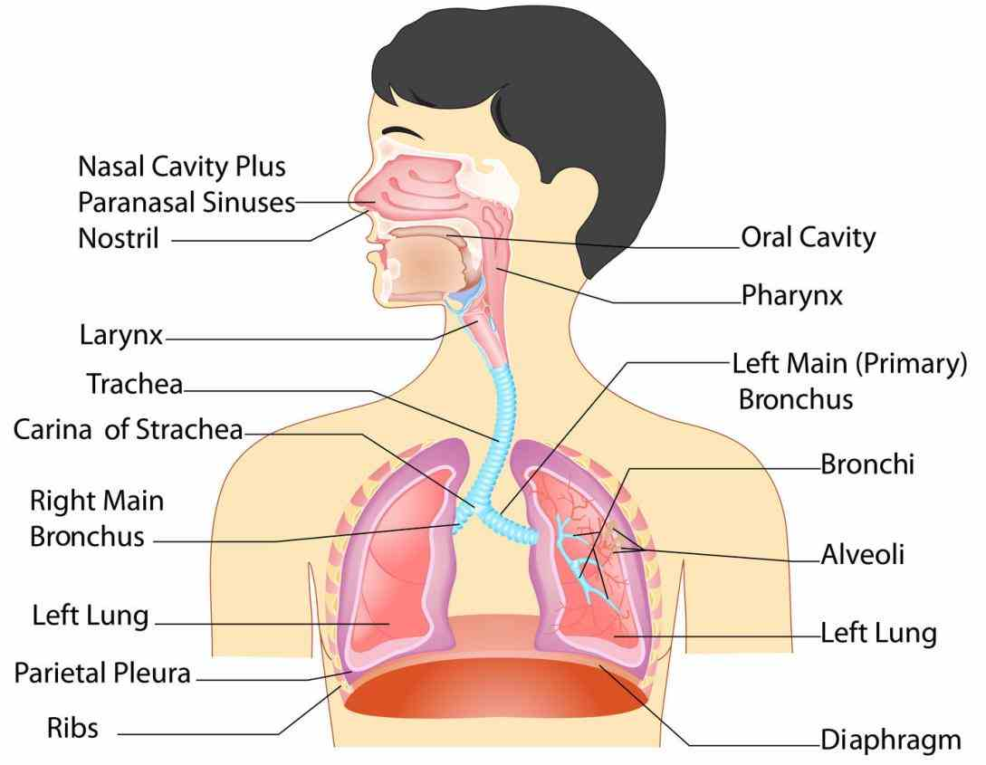 All Parts Of The Respiratory System And Their Functions Pictures Wallpapers