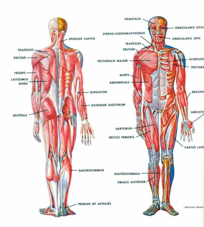 Female Human Body Systems Anatomy Pictures Wallpapers