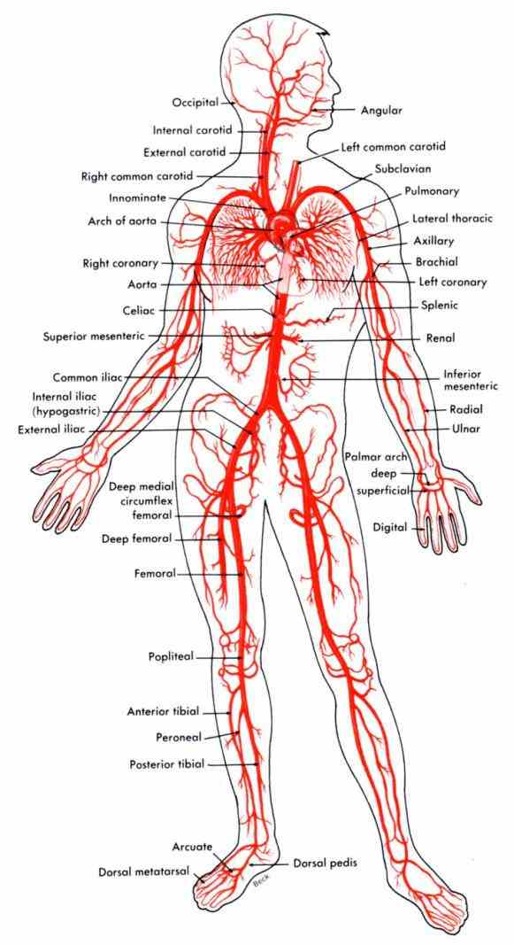 Major Structures Of The Cardiovascular System Pictures Wallpapers