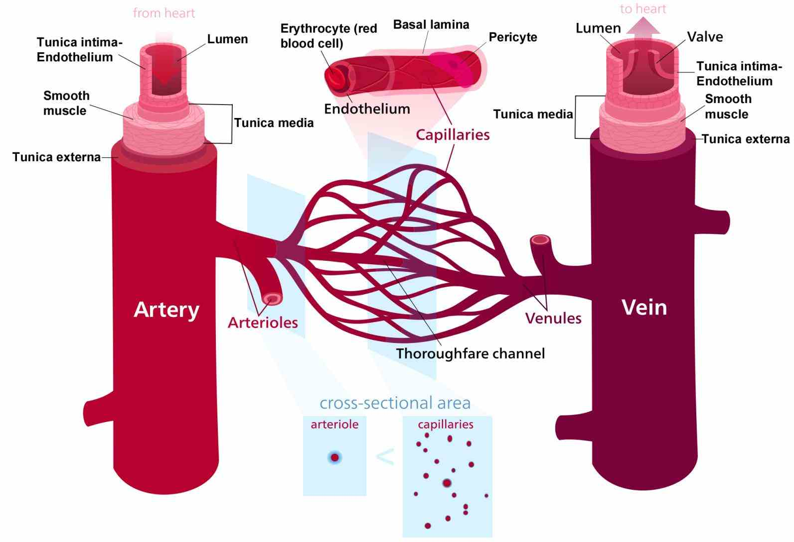 Arteries Veins And Capillaries Structure Pictures Wallpapers