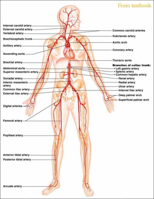 All Arteries In The Human Body Pictures Wallpapers