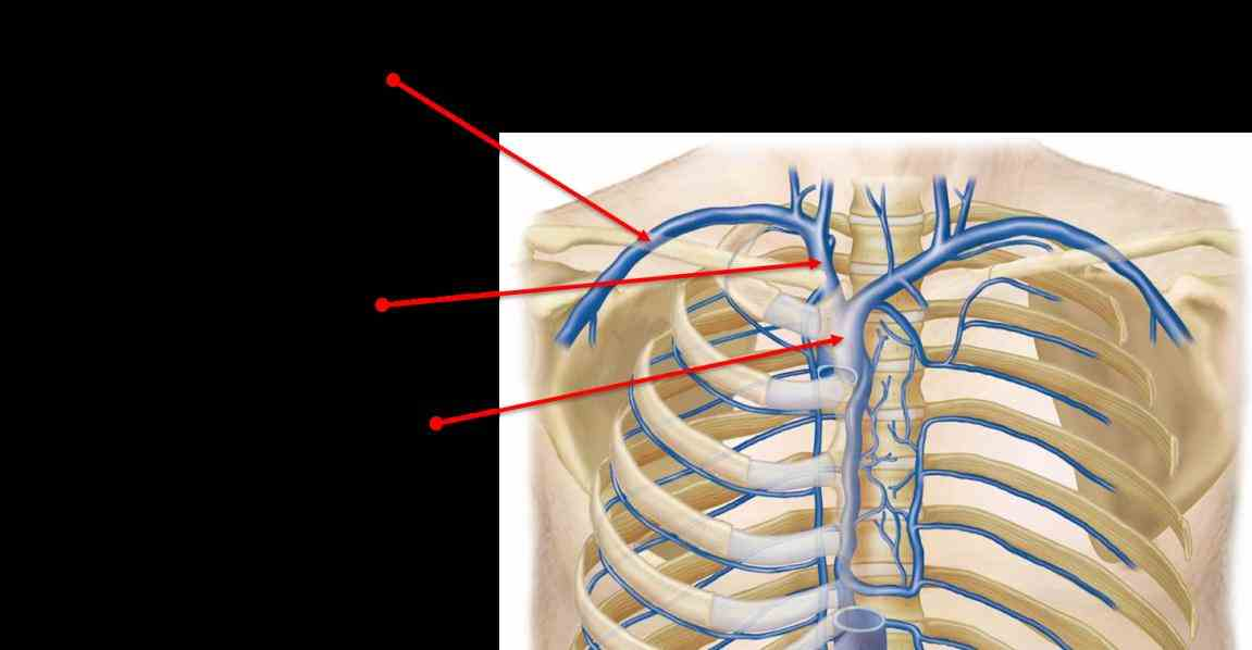 Anatomy Of Subclavian Vein Pictures Wallpapers