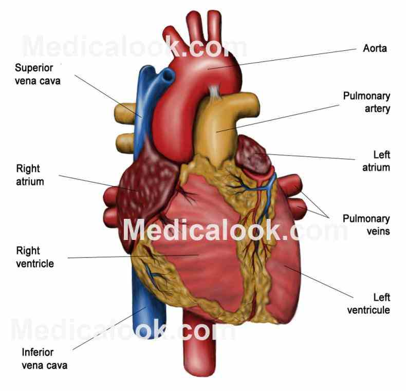 atria act as receiving chambers for blood so they are connected to veins that carry heart ventricles larger stronger