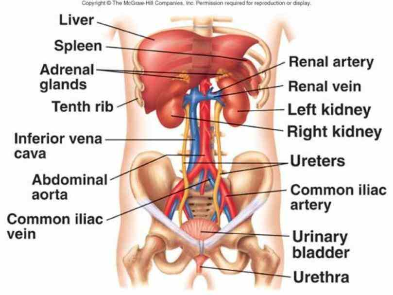 Anatomy Of Urogenital System Pictures Wallpapers