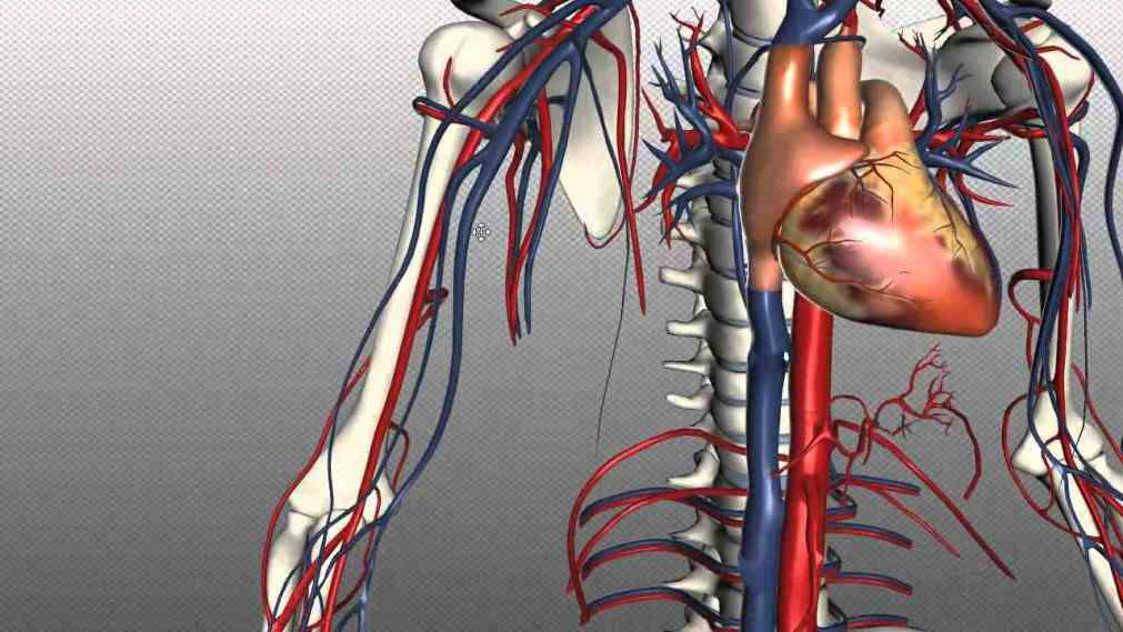Anatomy Of Blood Vessels In The Body Pictures Wallpapers