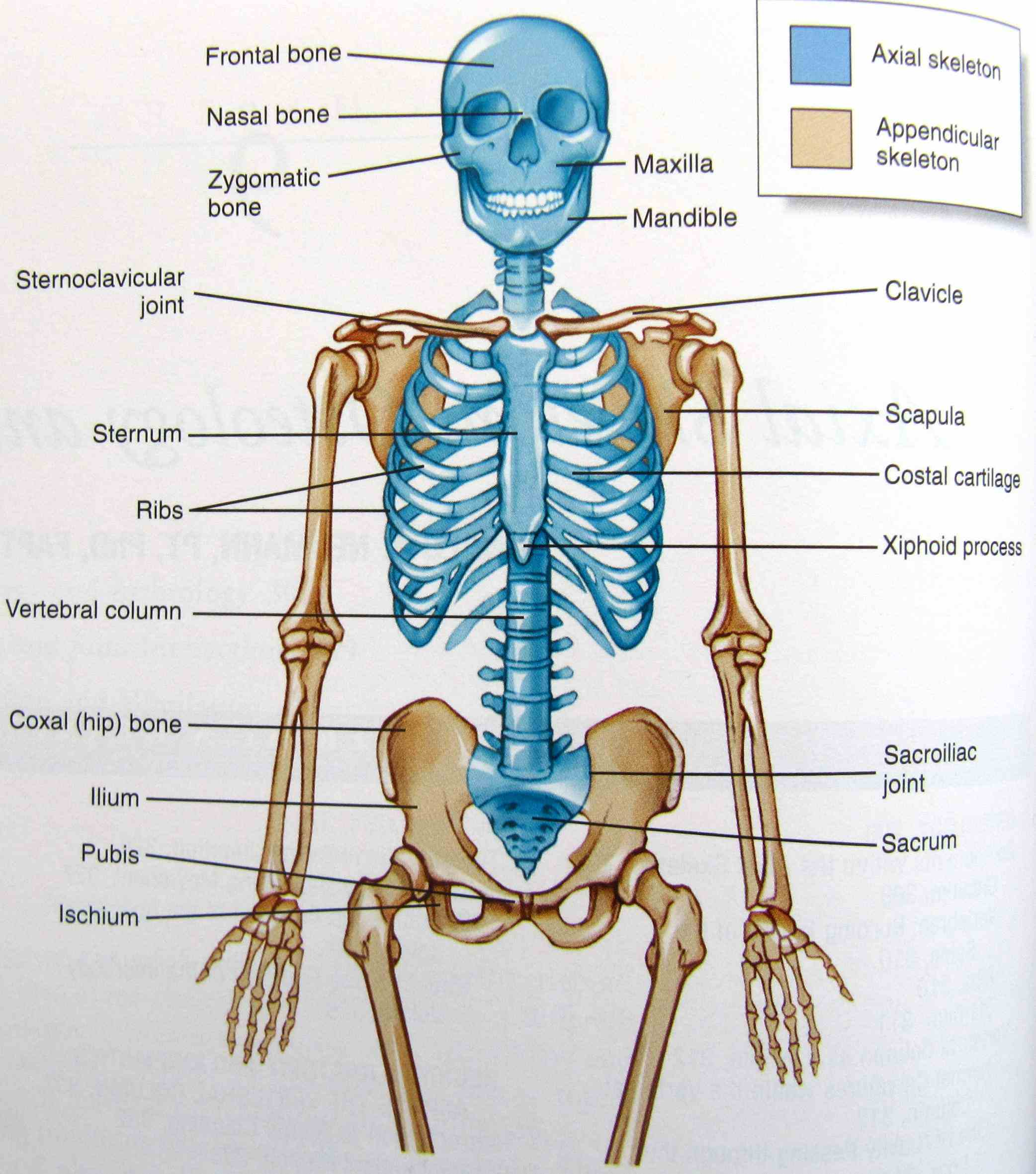 Anatomy of skeleton