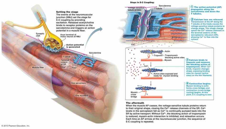 between motor neuron and muscle fiber made up of several components the  start Anatomy Of Neuromuscular Junction studying anatomy
