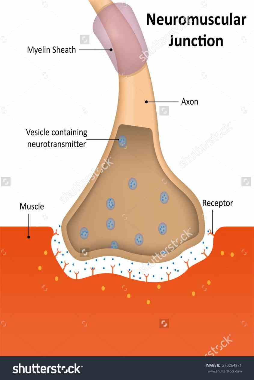 between synaptic end bulbs of  i Anatomy Of Neuromuscular Junction really appreciate your hard work preparing for neuromuscular transmission