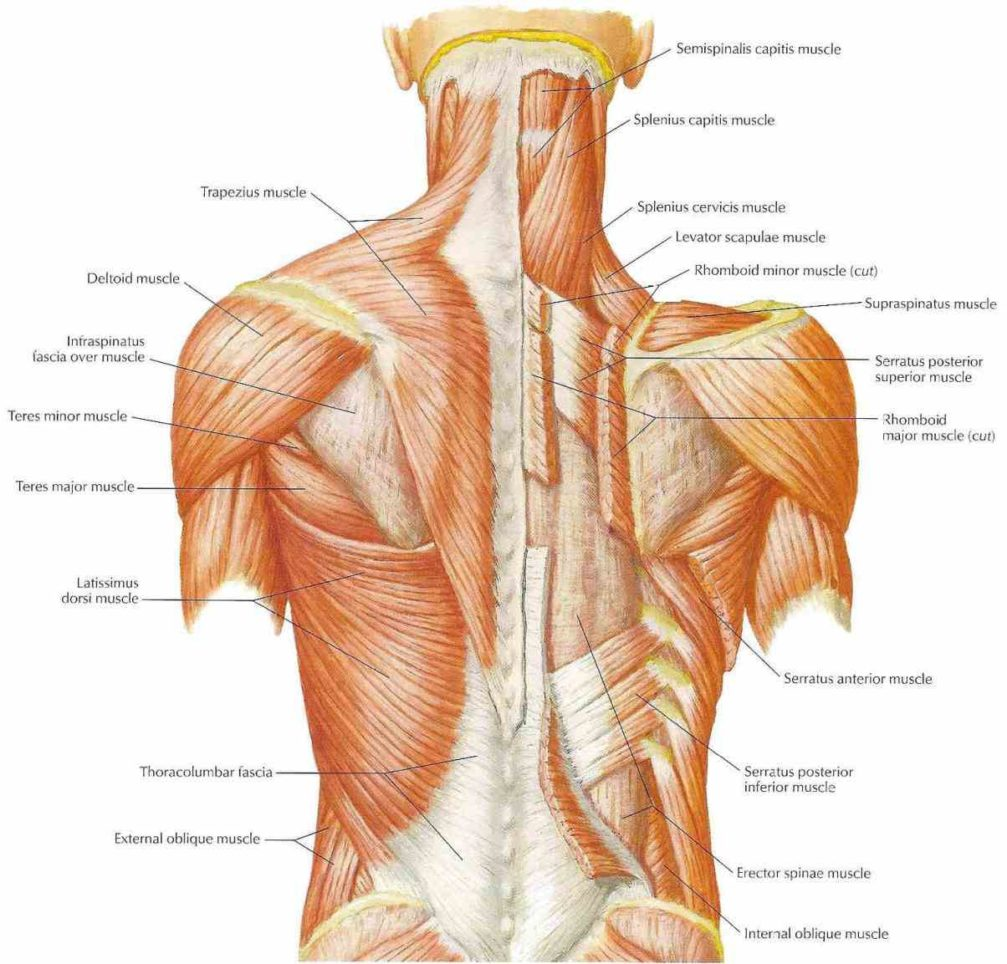 Axial shoulder anatomy