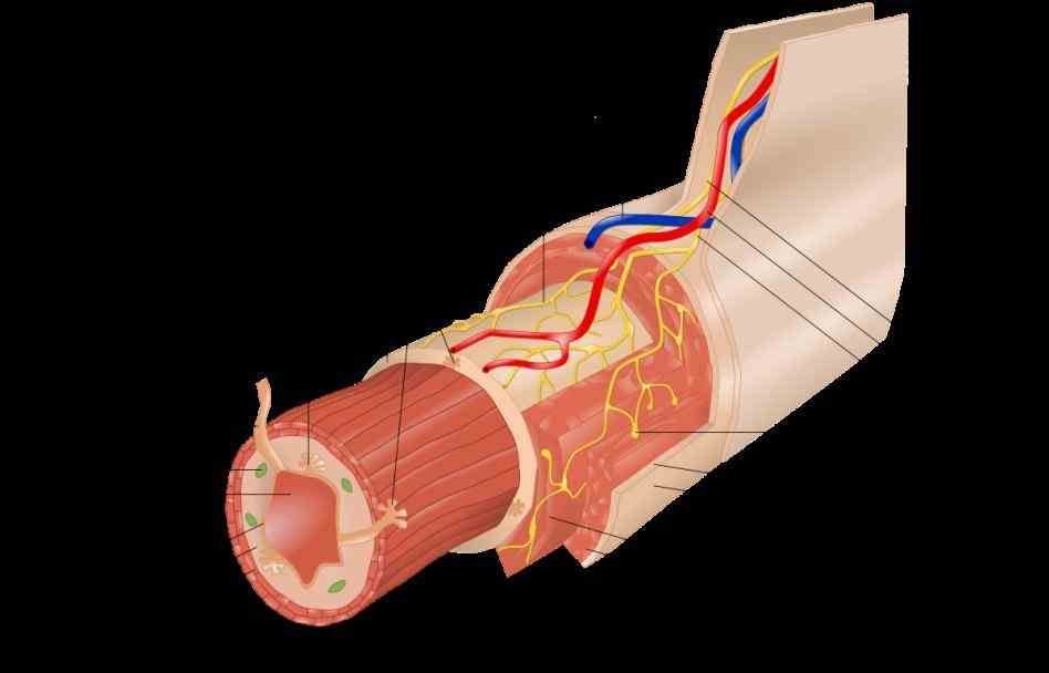 blood vessels submucosal  learn Layers Of Digestive Tract Anatomy more about layers of the alimentary canal in physiology by