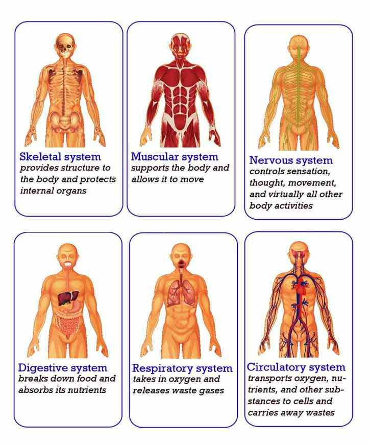 Major Systems Of Human Body Anatomy Pictures Wallpapers