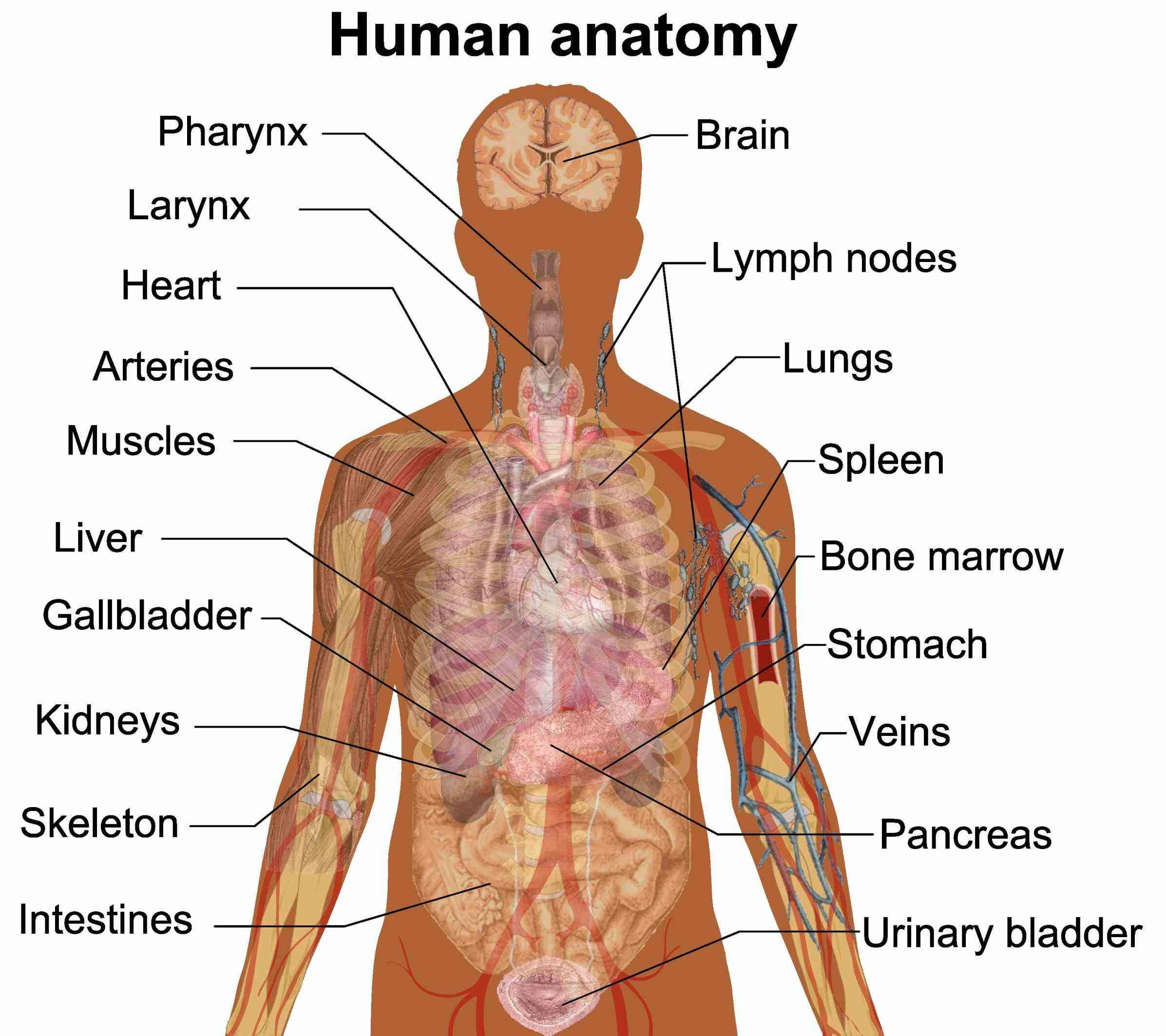 External Parts Of The Body Diagram Anatomy Pictures Wallpapers