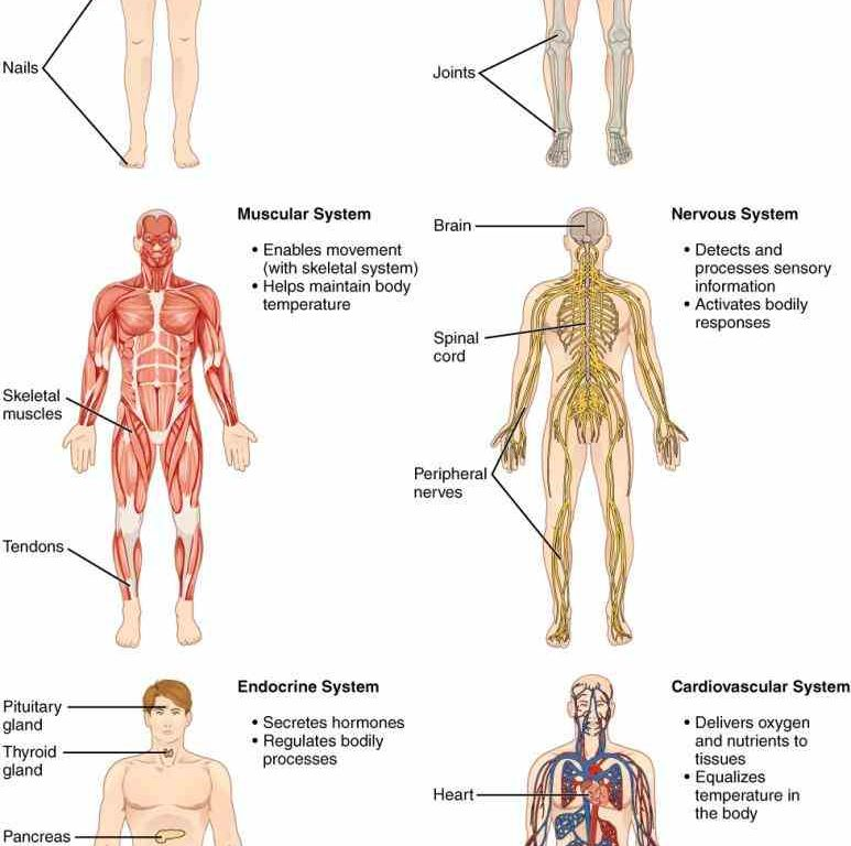 Pictures of the anatomy of the body
