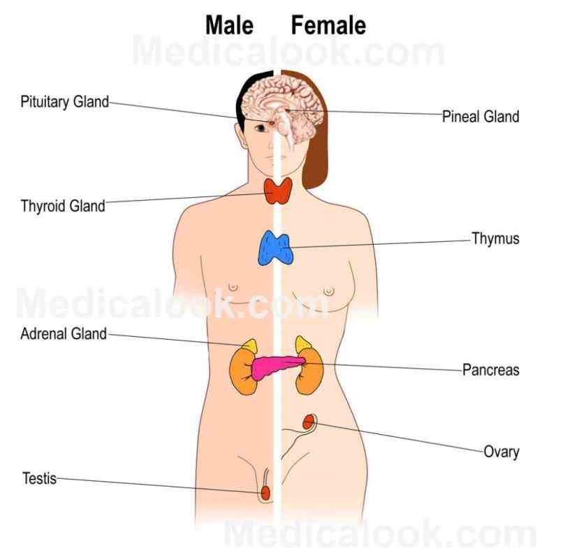 Endocrine System Diagram Labeled Pictures Wallpapers