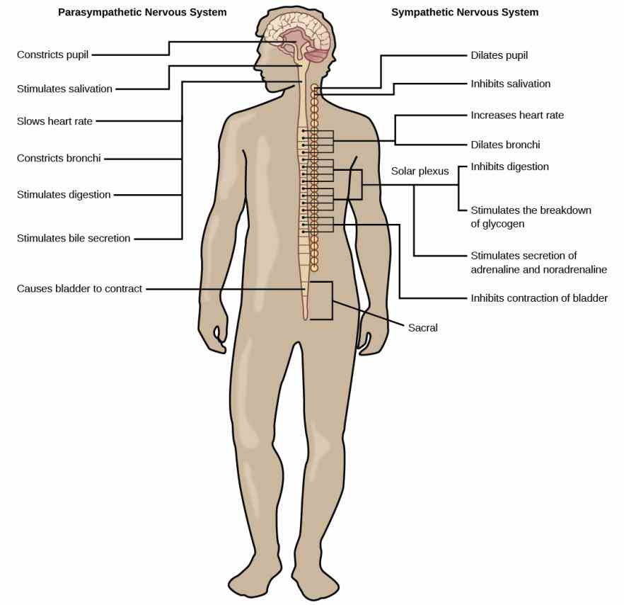 Label Of Structure Of Nervous System Of The Body Pictures Wallpapers
