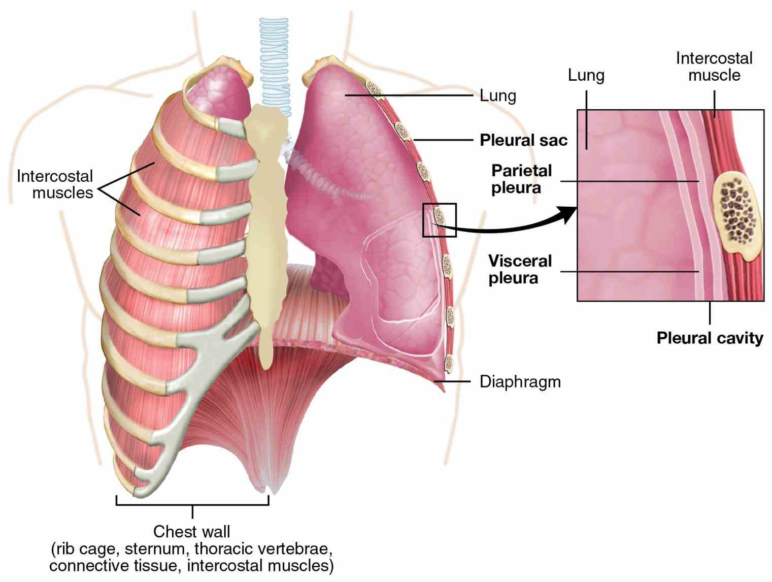 Anatomy Lungs Respiratory System Pictures Wallpapers