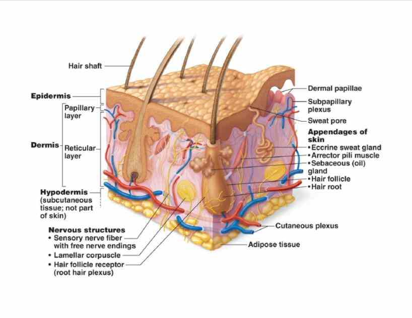 Pictures Of The Integumentary System Labeled Pictures Wallpapers